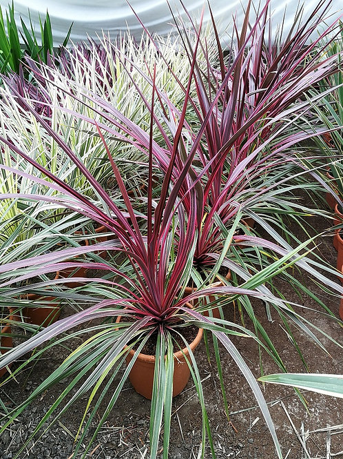 CORDYLINE AUSTRALIS Can Can