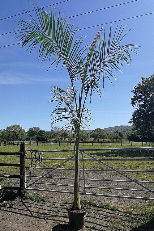 Roystonea Regia. Cuban Royal Palm Tree