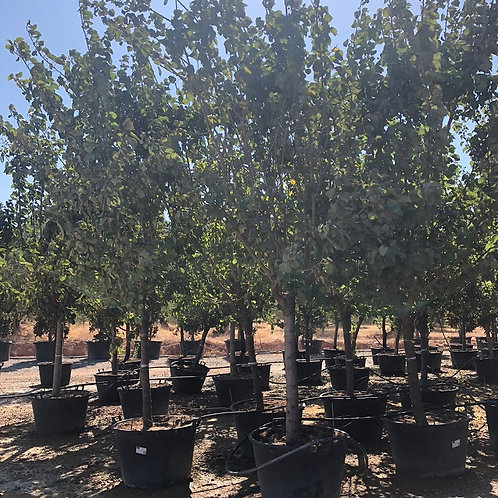Nectarine Trees. Variety 'Star Red Gold'
