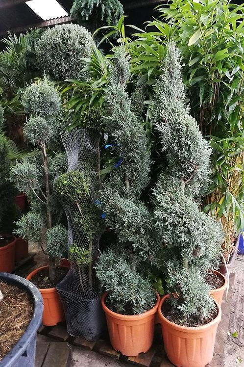Cupressus Arizonica Fastigiata Spiral Topiary Trees