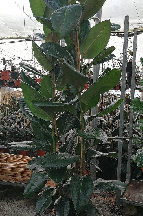 Large Ficus Elastica 'Robusta'. Large Rubber Plants