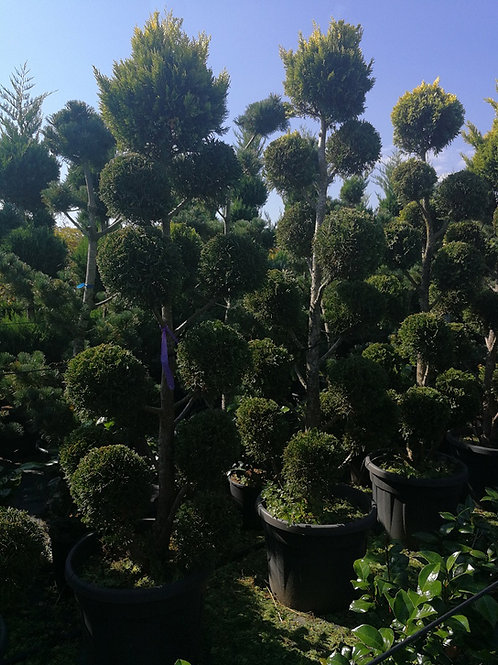 Cupressus Leylandii 'Gold Rider' Pom Pom Topiary Tree