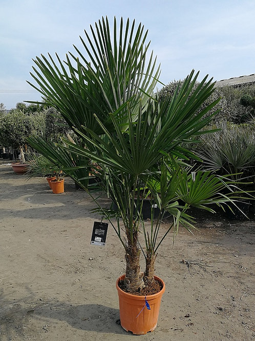 Quality Cold Hardy Trachycarpus Fortunei Palm Tree Groups. Free UK Delivery.