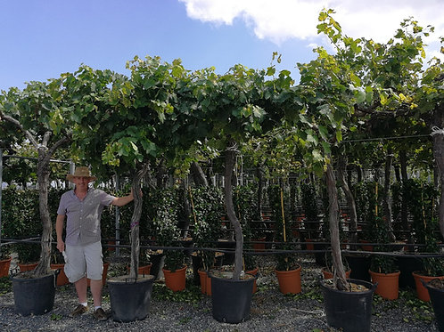 Large Grape Vines 9ft tall. Variety Red Globe