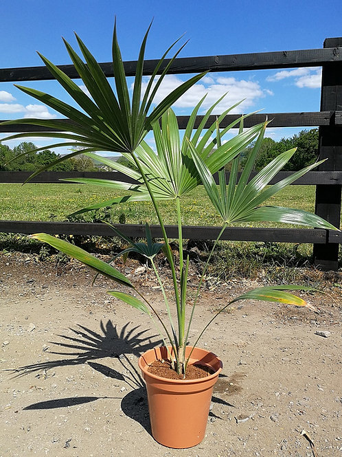 Thrinax Paviflora. Broom Thatch Palm. Mountain Thatch Palm.