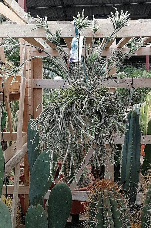 Rhypsalis Pilocarpa Hanging Cactus For Sale.