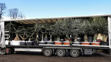 Olive Trees As Far As You Can See!!