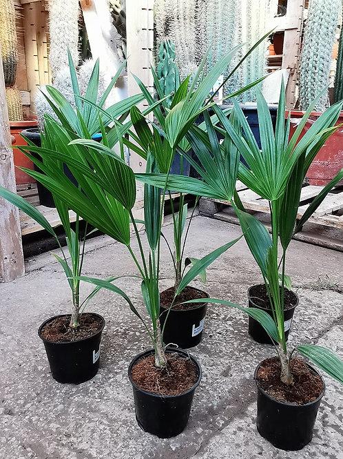 Thrinax Radiata Palm.
