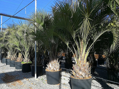 Large Butia Capitata (Odorata) Palms For Sale