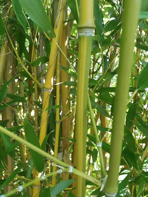 Phyllostachys Aureosulcata 'Spectablis' Bamboo.
