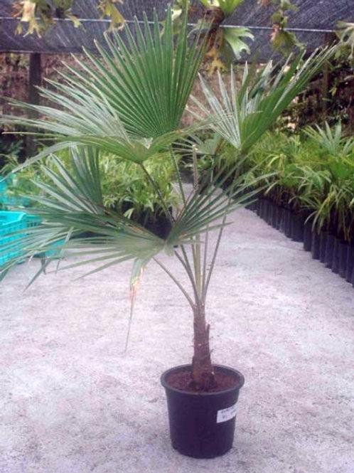 Trachycarpus Takil Palm Trees