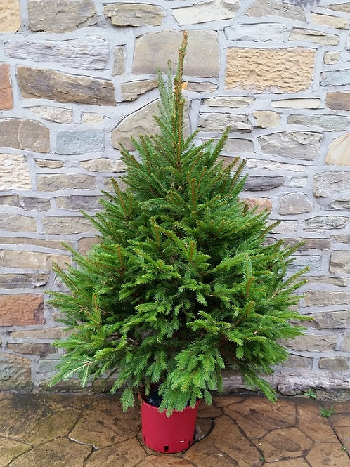 POT GROWN NORWAY SPRUCE
