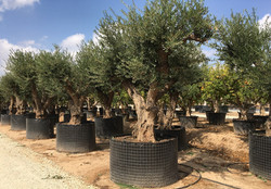 Gnarled Olive Trees.