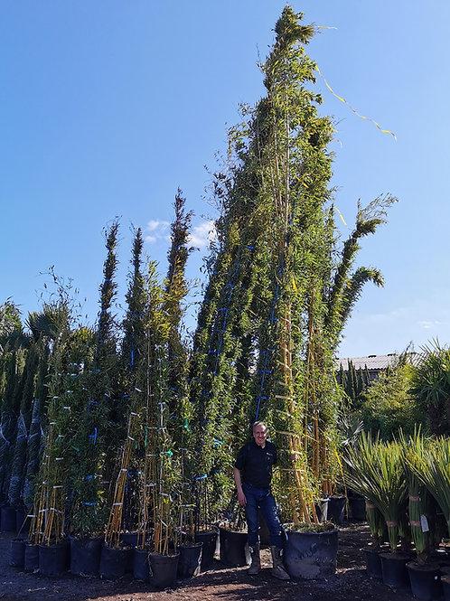 Phyllostachys Vivax Aureocaulis Bamboo. Giant Bamboo.