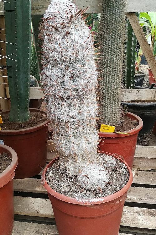 Oreocereus Trollii Cactus For Sale. Old Man Of The Mountain Cactus.