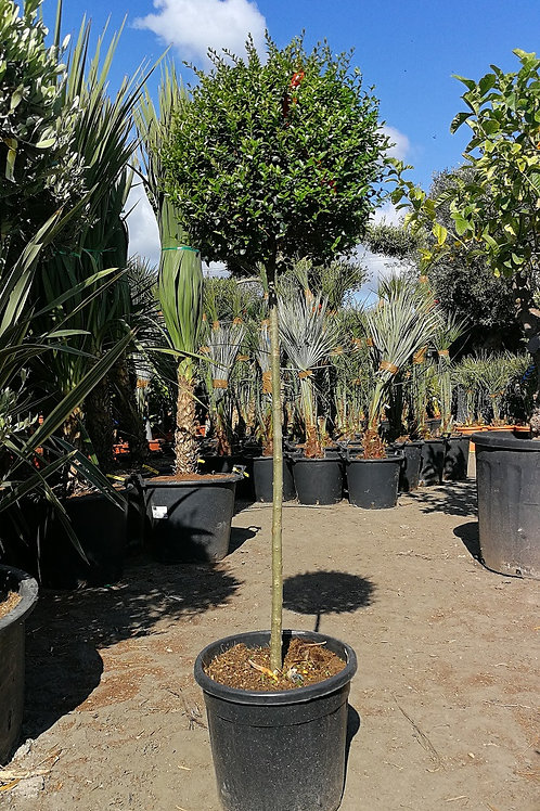 Ligustrum Jonanadrum Half Standard Trees For Sale.