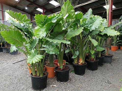 Alocasia 'Portodora'. Upright Elephant Ear Plants For Sale.