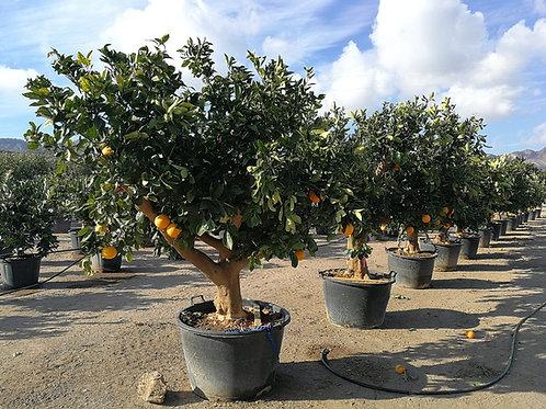 Large Sweet Orange Trees. Citrus Sinensis Trees