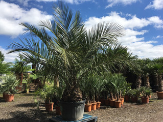 Another huge delivery of Premium Quality Hardy Palm Trees and beautiful Gnarled Olive Trees