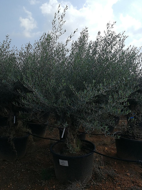 Gnarled Spanish Olive Trees For Sale