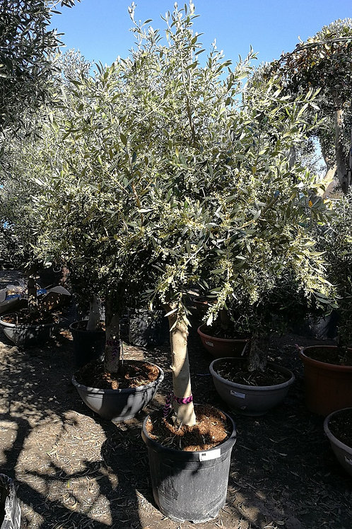 Open Crown Olive Trees. European Olive Trees For Sale
