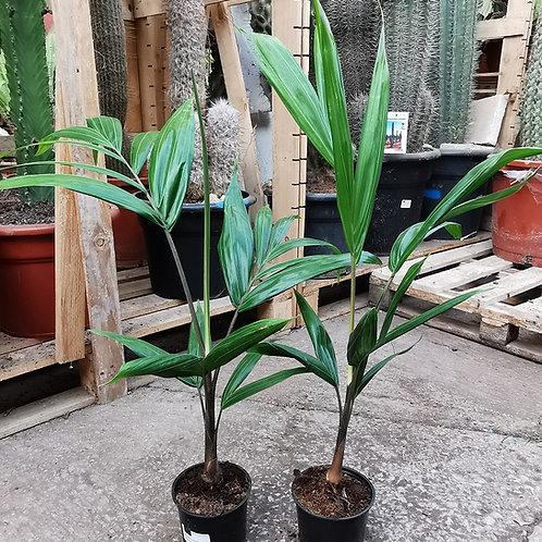 Dypsis Soanierana Palm.