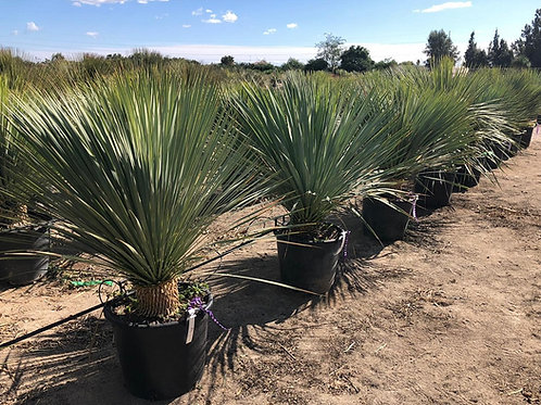 Quality Large Yucca Rostrata Plants For Sale. Beaked Yucca