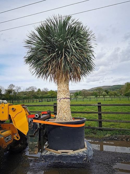 Specimen Yucca Rostrata For Sale