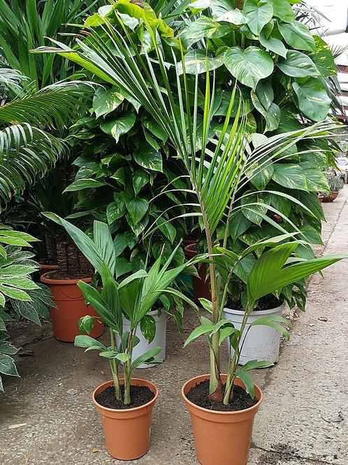 Archontophoenix Cunninghamiana Illawara. King Palm. Bangalow Palm.