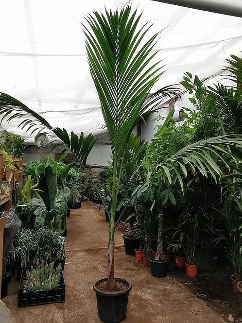 Dictyosperma Album var. Conjugatum. Round Island Hurricane Palm.