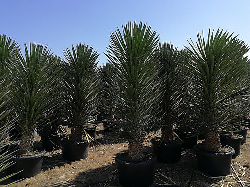 Large Yucca Filifera Australis Plants For Sale
