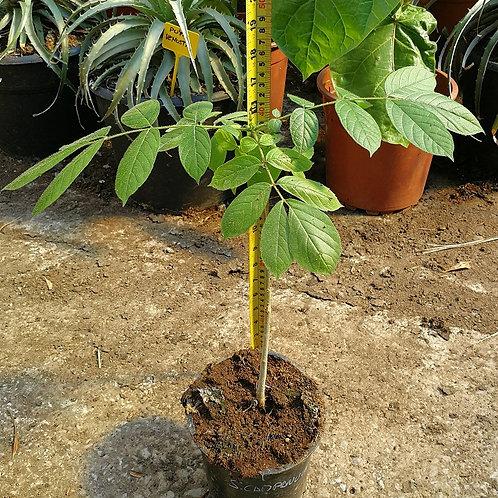 Spathodea Campanulata. African Tulip Tree
