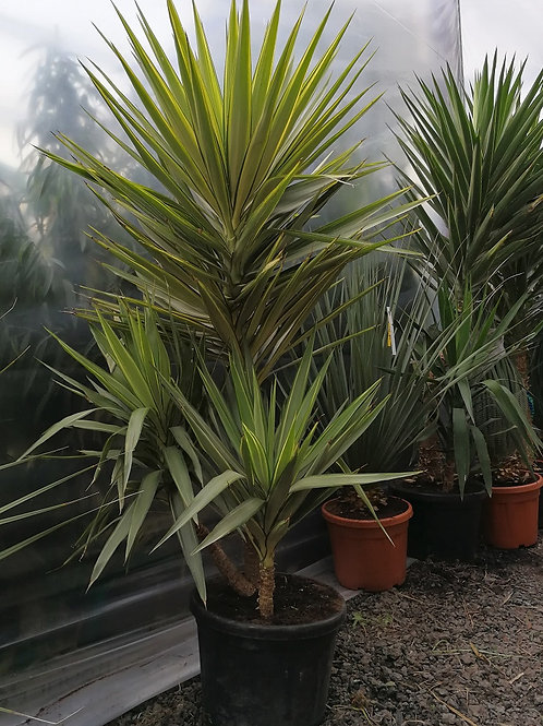 Large Yucca Jewel Multi Head Houseplant.