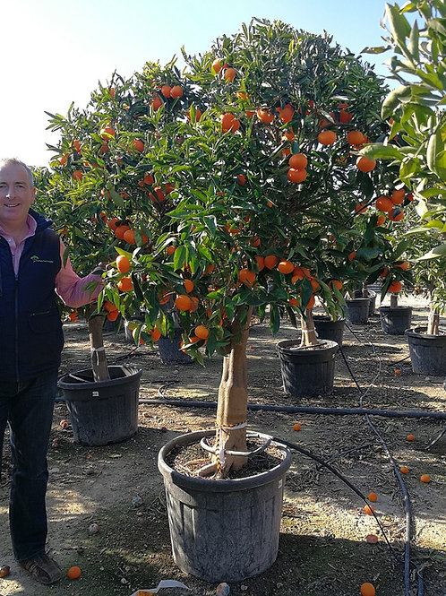 Large Mandarin Orange Trees For Sale