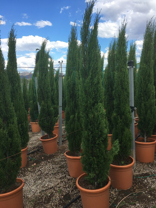 CUPRESSUS SEMPERVIRENS \'Totem\'. Free UK Delivery! | Palm Trees for ...