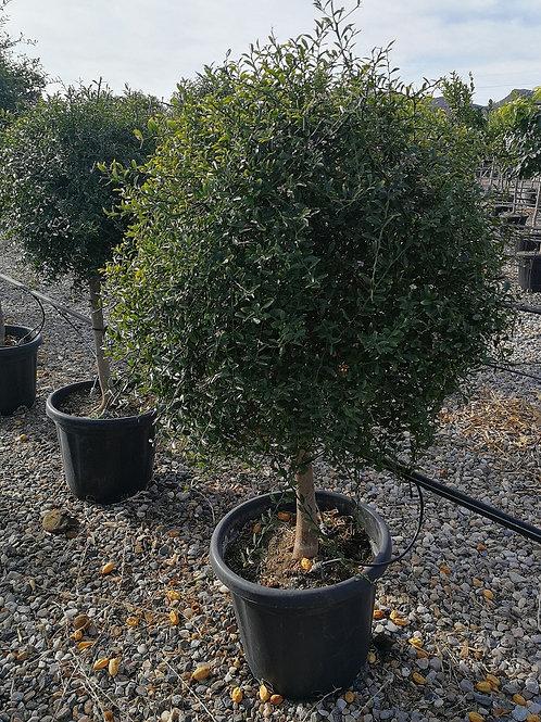 Large Citrus Caviar Trees for sale