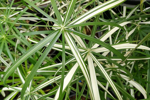 Cyperus Alternifolius Variegatus Plants. Variegated Umbrella Plants