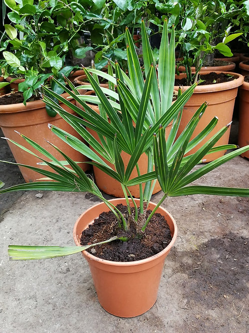 Acoelorrhaphe Wrightii Palm. Paurotis Palm.