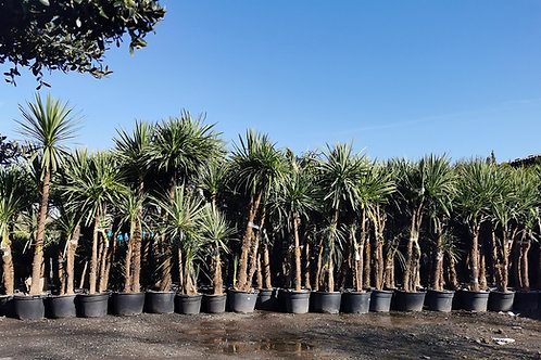 Large Cordyline Australis Plants. Multi Trunk and Multi Head