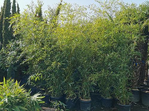 Phyllostachys Viridiglaucescens Bamboo For Sale. Tall Green Glaucous Bamboo