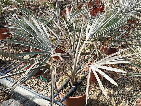 Bismarkia Nobilis Palm