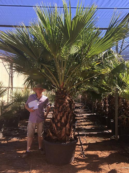 Specimen Brahea Edulis Palm Tree