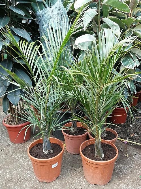 Hyophorbe Verschafeltii. Spindle Palm.