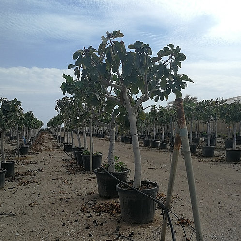 Large Fig Trees. Ficus Carica 'Noire De Caromb.