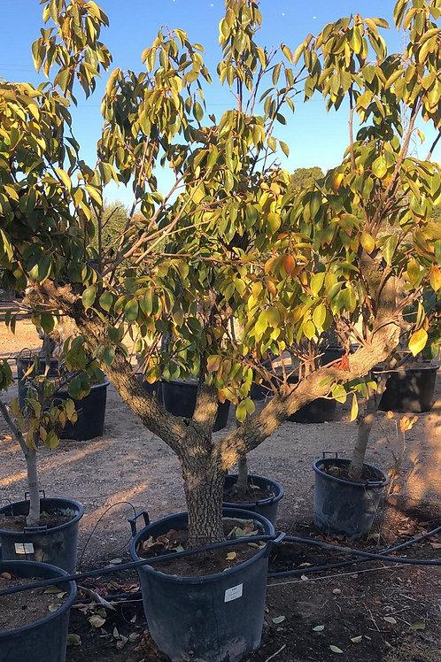 DIOSPYROS KAKI. Japanese Persimmon Tree.