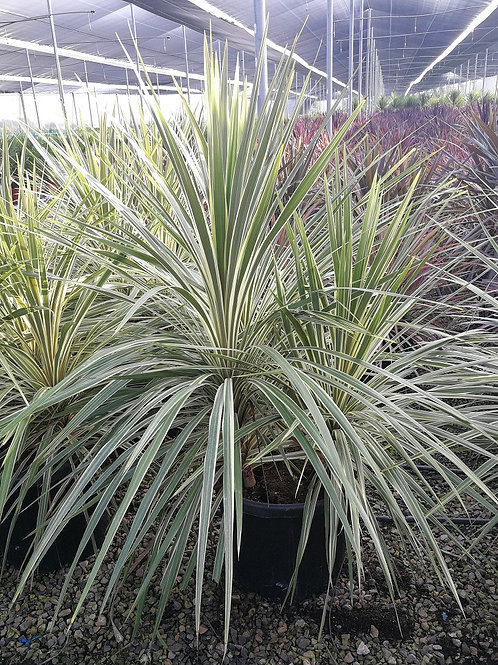 Cordyline Australis 'Torbay Dazzler' multi trunks