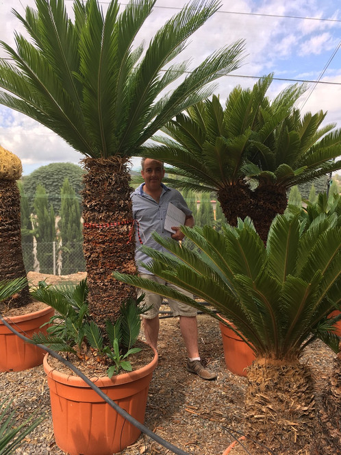 cycas revoluta free uk delivery palm trees for sale shop online the palm tree company. Black Bedroom Furniture Sets. Home Design Ideas