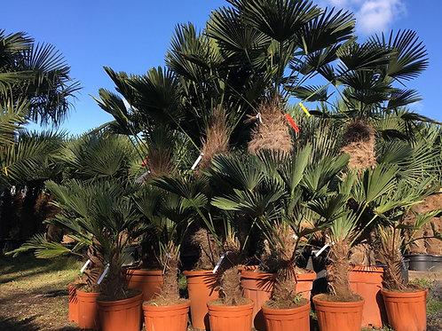 Large Trachycarpus Wagnerianus Palm Trees