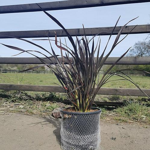 PhormiumTenax 'Black Adder'. Flax Lily 'Black Adder' For Sale.