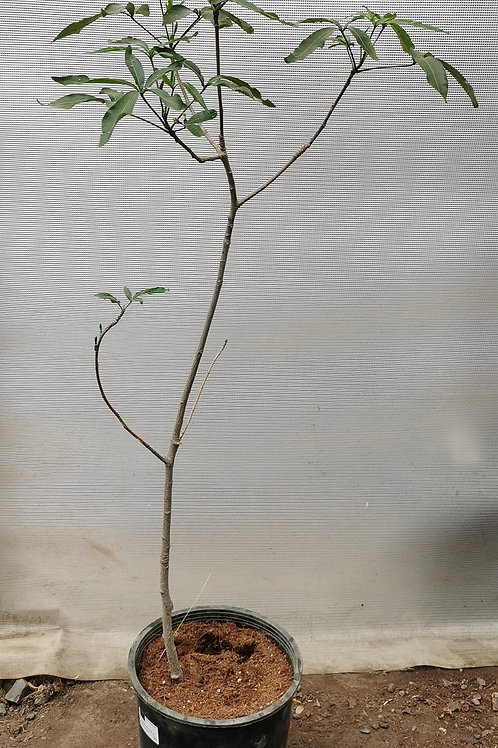 Adansonia grandidieri. Grandidieri's Baobab.